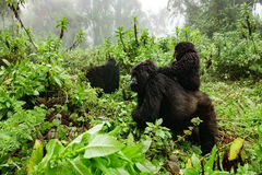 Female mountain gorilla with baby on top Stock Image