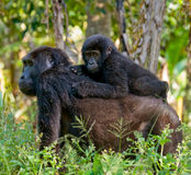 A female mountain gorilla with a baby. Uganda. Bwindi Impenetrable Forest National Park. An excellent illustration royalty free stock images