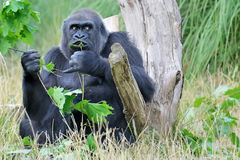 Female Mountain Gorilla Feeding in Natural Habitat Stock Images