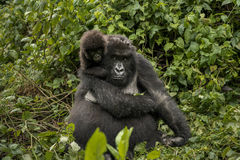 Female mountain gorilla with her cute baby. Royalty Free Stock Image