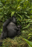 Female mountain gorilla  holding her baby. Royalty Free Stock Images