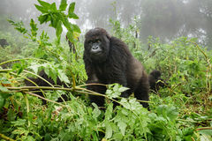 Female mountain gorilla observing tourists in the forest. Front view of mountain gorilla observing tourists in the forest Stock Images