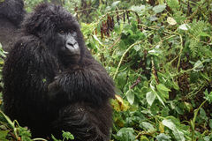 Female mountain gorilla thinking in the forest, closeup Stock Photography