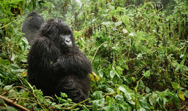 Female mountain gorilla thinking in the forest Royalty Free Stock Photography