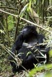 Female mountain gorilla in Volcanoes National Park, Virunga, Rwa. Female mountain gorilla in bamboo forest of Volcanoes National Park, Virunga, Rwanda, Africa Stock Photos