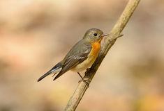 Female Mugimaki Flycatcher (Ficedula mugimaki) Stock Images