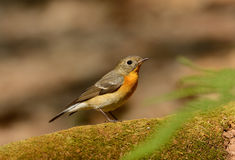 Female Mugimaki Flycatcher (Ficedula mugimaki) Royalty Free Stock Images