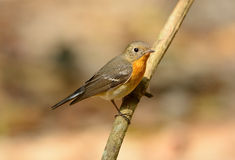 Female Mugimaki Flycatcher (Ficedula mugimaki) Stock Photos
