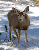 Female mule deer Royalty Free Stock Photo