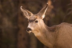 A Female Mule Deer. Up close Stock Image