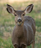 Female mule deer, close up Stock Photo