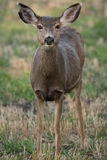 Female mule deer, close up Stock Images
