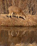 Female Mule Deer Feeding Royalty Free Stock Images