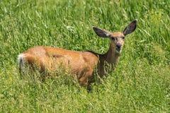 Female Mule Deer in Wyoming Meadow. Female mule deer grazing in tall grassy meadow in Wyoming royalty free stock image