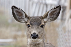 Female Mule Deer Head Shot Blurred Background Stock Image