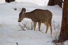 Female Mule Deer (Odocoileus hemionus) Royalty Free Stock Photos