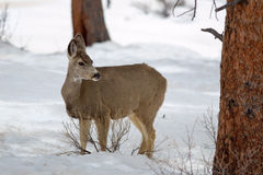 Female Mule Deer (Odocoileus hemionus) Stock Images