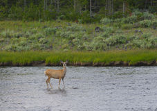 Female mule deer in river Stock Photography