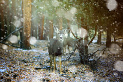 Female Mule Deer in a snow storm in the Rockies. Female mule deer staring at the camera in a snow storm in the Rockies stock image
