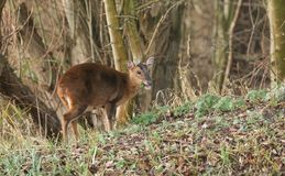 A pretty female Muntjac Deer Muntiacus reevesi feeding on an island in the middle of a lake. A female Muntjac Deer Muntiacus reevesi feeding on an island in the Stock Photography