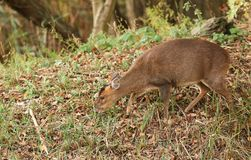 A female Muntjac Deer Muntiacus reevesi feeding on an island in the middle of a lake. A pretty female Muntjac Deer Muntiacus reevesi feeding on an island in the Stock Photo