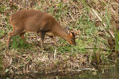 A pretty female Muntjac Deer Muntiacus reevesi feeding at the waters edge on an island in the middle of a lake. A female Muntjac Deer Muntiacus reevesi feeding Stock Images