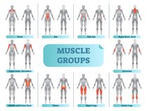 Female muscle groups anatomical fitness vector illustration, sports training informative poster. Female muscle groups anatomical fitness vector illustration Stock Photo
