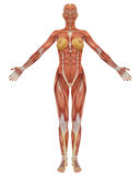 Female muscular anatomy front view Stock Photo