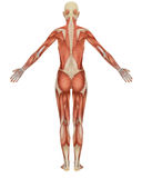 Female muscular anatomy rear view Royalty Free Stock Images