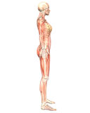 Female Muscular Anatomy Semi Transparent Side View Royalty Free Stock Image