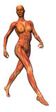 Female musculature with skeleton. Walking female anatomical study. Slightly transparent musculature with skeleton Royalty Free Stock Image