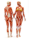 Female musculoskeletal system. Front and back isolated on a white background .Part of a muscle medical series Royalty Free Stock Photo