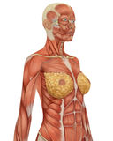 Female musular anatomy upper body close up Royalty Free Stock Photo