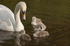 Female mute swan Cygnus olor with four cygnets Stock Images