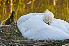 Female mute swan cygnus olor sleeping on nest Stock Images
