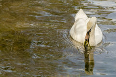 Female Mute Swan Eating Pond Vegetation Royalty Free Stock Photos