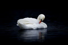 Female Mute Swan Preening on Dark Water Royalty Free Stock Photo