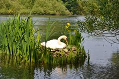 A female mute swan sitting on unhatched eggs Stock Image