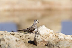Female Namaqua Dove in Kalahari desert Stock Image