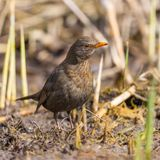 Female blackbird turdus merula standing in cut reed stalks royalty free stock image