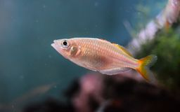 Free Female Neon Dwarf Rainbowfish Royalty Free Stock Photo - 108197785