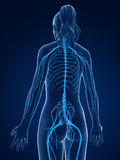 Female  nerve system Stock Photos