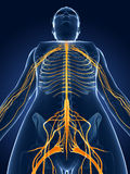 Female  nerve system Royalty Free Stock Photos