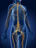 Female  nerve system Stock Photos