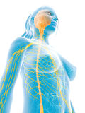 Female nerve system Stock Photography