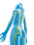 Female nerves Stock Image