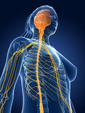 Female nerves. 3d rendered medical illustration - female nerves Royalty Free Stock Photo