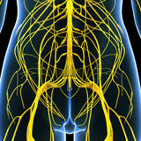 Female nervous system of back Royalty Free Stock Images