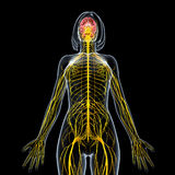 Female nervous system in black Royalty Free Stock Images