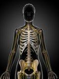 Female nervous system Stock Images